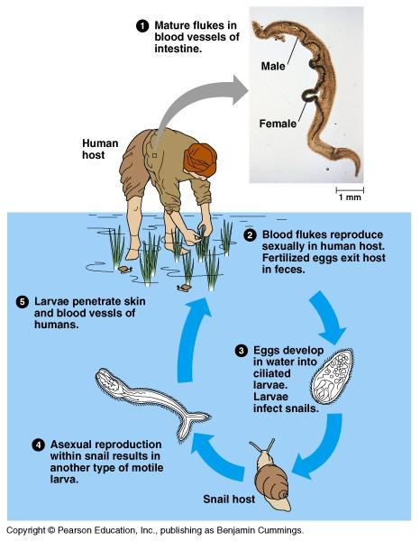 schistosomiasis freshwater snails condilomul se transmite sau nu unei fete
